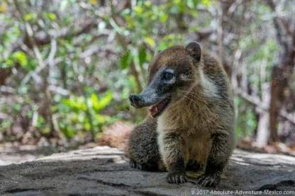 coati at the entrance of tulum