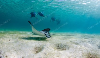 eagle ray during our snorkeling tour in akumal