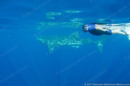 snorkel with whale shark