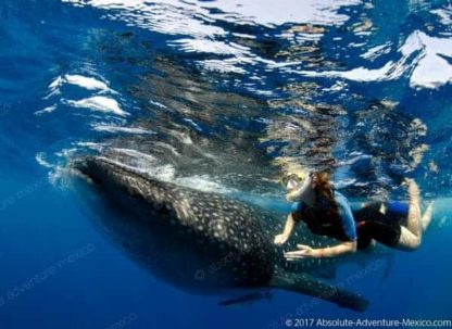 swimm with whaleshark