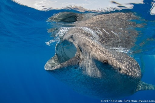 whale sharks tour best deal from june to september riviera maya mexico